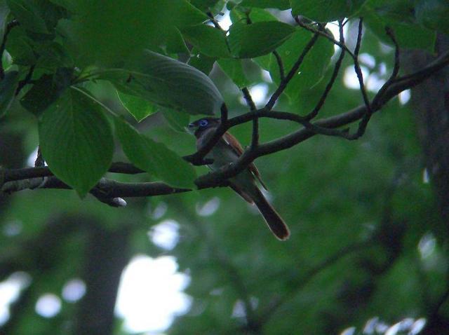 サンコウチョウ(♀):クリックして大きな画像でご覧下さい
